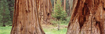 Sapling among full grown Sequoias, Sequoia National Park, California, USA by Panoramic Images