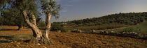 Trees on a landscape, Itria Valley, Puglia, Italy von Panoramic Images