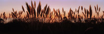 Silhouette of grass in a field at dusk, Big Sur, California, USA by Panoramic Images