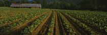 Tobacco field with a barn in the background, North Carolina, USA by Panoramic Images