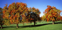Autumn Pear Orchard in Swiss midlands Switzerland by Panoramic Images
