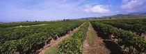 Coffee crop in a field, Kauai, Hawaii, USA von Panoramic Images