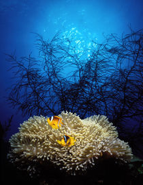 Mat anemone and Allard's anemonefish (Amphiprion allardi) in the ocean von Panoramic Images
