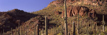 Cacti on a landscape, Organ Pipe Cactus National Monument, Arizona, USA by Panoramic Images