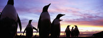 Silhouette of a group of Gentoo penguins, Falkland Islands (Pygoscelis papua) by Panoramic Images