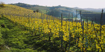 Panoramic view of vineyards, Peidmont, Italy by Panoramic Images