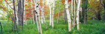 Birch trees in a forest, Acadia National Park, Hancock County, Maine, USA by Panoramic Images