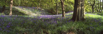 Bluebells In A Forest, Newton Wood, Texas, USA von Panoramic Images