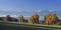 Switzerland, Reusstal, Panoramic view of Pear trees in the Swiss Midlands by Panoramic Images