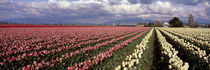 USA, Washington, Tulip Field by Panoramic Images