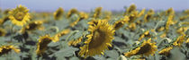 USA, California, Central Valley, Field of sunflowers von Panoramic Images