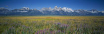 Field of flowers, Grand Teton National Park, Wyoming, USA von Panoramic Images