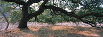 Oak tree on a field, Sonoma County, California, USA by Panoramic Images