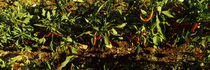Red chili peppers growing on plants, Itria Valley, Puglia, Italy by Panoramic Images