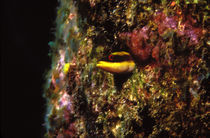 Wrasse blenny in coral wall in the sea by Panoramic Images