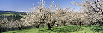 Cherry Orchard, Oregon, USA by Panoramic Images