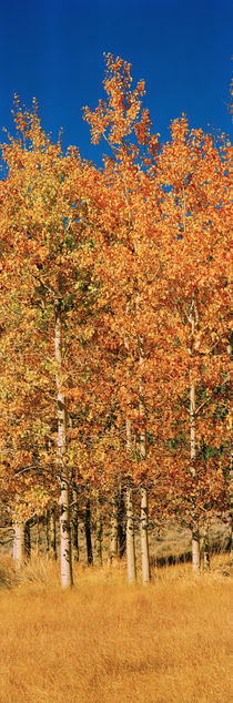 Aspen trees in a forest, Lee Vining, California, USA by Panoramic Images