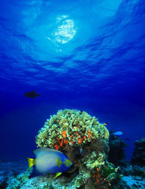 Queen angelfish  and Blue chromis with Black Durgon in the sea by Panoramic Images