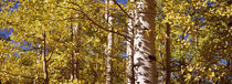 Aspen trees in autumn, Colorado, USA by Panoramic Images