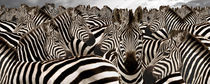 Herd of zebras von Panoramic Images