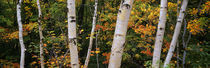 Birch trees in a forest, New Hampshire, USA by Panoramic Images