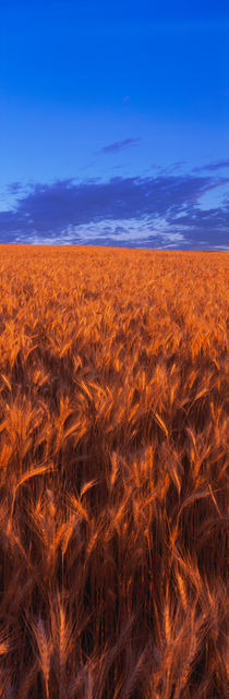 Wheat Field WA by Panoramic Images