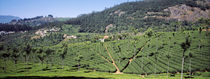 Tea plantation, Coonoor, Nilgiris, Kerala, India von Panoramic Images