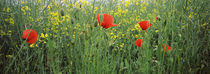 Poppies blooming in oilseed rape  field, Baden-Württemberg, Germany von Panoramic Images