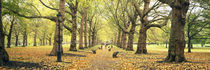 Trees along a footpath in a park, Green Park, London, England by Panoramic Images