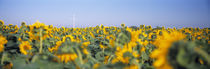Wind turbine in a field of Sunflowers, Baden-Württemberg, Germany von Panoramic Images