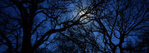 Silhouette of Oak trees, Texas, USA von Panoramic Images