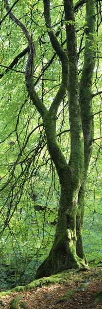 Moss growing on a beech tree, Perthshire, Scotland von Panoramic Images
