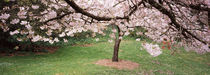 Cherry Blossom tree in a park, Golden Gate Park, San Francisco, California, USA by Panoramic Images