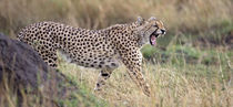 Cheetah walking in a field by Panoramic Images