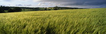 Barley Field, Wales, United Kingdom by Panoramic Images