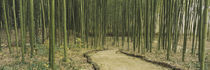 Bamboo trees on both sides of a path, Kyoto, Japan by Panoramic Images