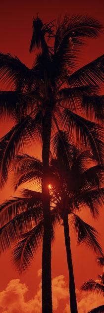 Low angle view of palm trees at dusk, Kalapaki Beach, Kauai, Hawaii, USA von Panoramic Images