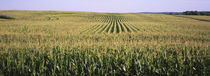 Corn crop in a field, Southeast Minnesota, Minnesota, USA von Panoramic Images