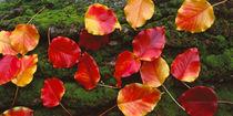 Fall Leaves Sacramento CA USA von Panoramic Images