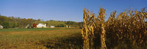Corn in a field after harvest, along SR19, Ohio, USA by Panoramic Images