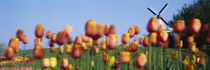 Tulip Flowers With A Windmill In The Background, Holland, Michigan, USA by Panoramic Images