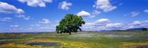 Single Tree In Field Of Wildflowers, Table Mountain, Oroville, California, USA by Panoramic Images