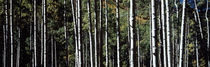 White Aspen Tree Trunks CO USA by Panoramic Images