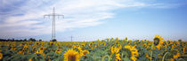 Electricity pylons in a field of Sunflowers, Baden-Wurttemberg, Germany by Panoramic Images