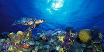 Hawksbill turtle  and French angelfish  with Stoplight Parrotfish by Panoramic Images