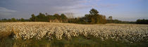 Cotton plants in a field, North Carolina, USA by Panoramic Images