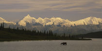 Moose standing on a frozen lake, Wonder Lake, Denali National Park, Alaska, USA by Panoramic Images