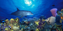 Bottle-Nosed dolphin and Gray angelfish on coral reef in the sea von Panoramic Images
