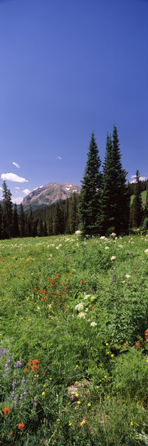Wildflowers in a forest, Crested Butte, Gunnison County, Colorado, USA by Panoramic Images