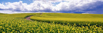 Road, Canola Field, Washington State, USA von Panoramic Images